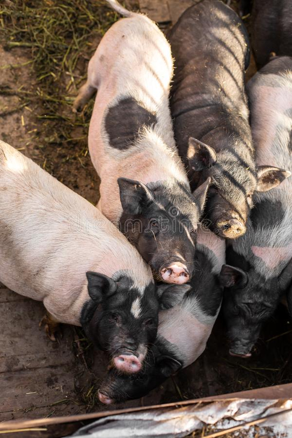 Free Pigs Family In Pigsty, Look Into Camera. Dirty And Happy. Farm Life Royalty Free Stock Image - 162774406