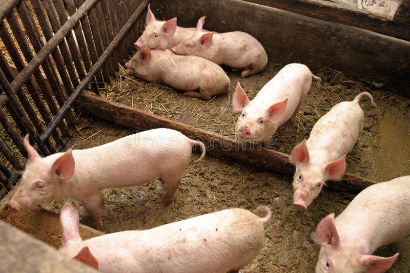 Download Pigs in a farm stock photo. Image of livestocks, fence - 16810822
