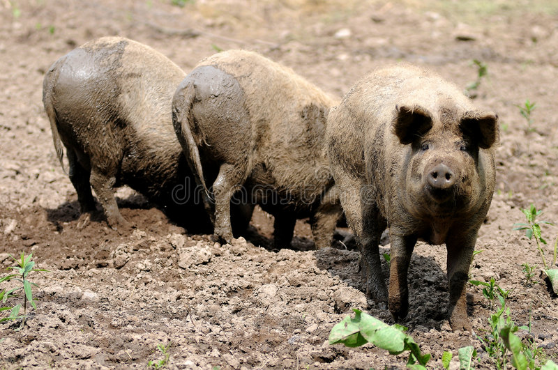 Download Pigs on the farm stock photo. Image of shoot, soil, scrofa - 5275432
