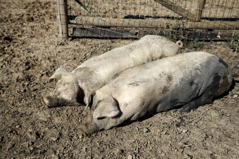 Pigs on farm. Pigs in animal farm, nature and food industry, young, pork, swine, piglet, hog, breeding, livestock, snout, agriculture, nose, piggy, funny, big royalty free stock photos