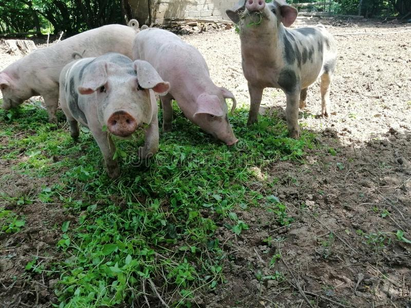 Pigs in farm eating royalty free stock image