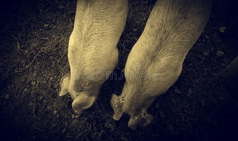 Pigs on farm stock images
