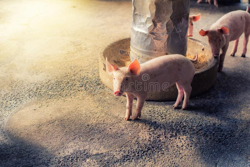 Pigs at the farm. Meat industry. royalty free stock images