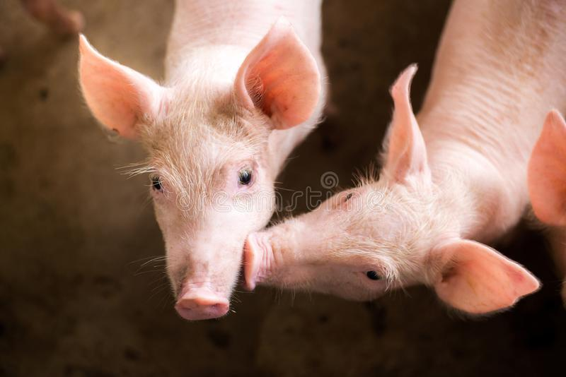 Pigs at the farm. Meat industry. stock photos