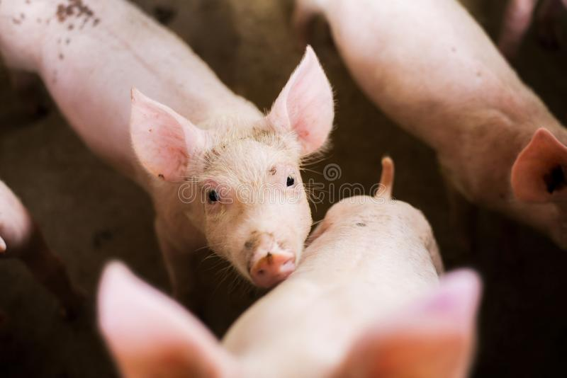 Pigs at the farm. Meat industry. royalty free stock photo