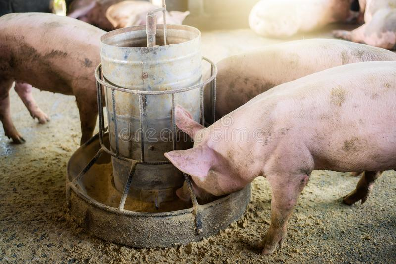 Pigs at the farm. Meat industry. Pig farming to meet the growing demand for meat in thailand and international. Pigs at the farm. Meat industry. Pig farming to royalty free stock photo