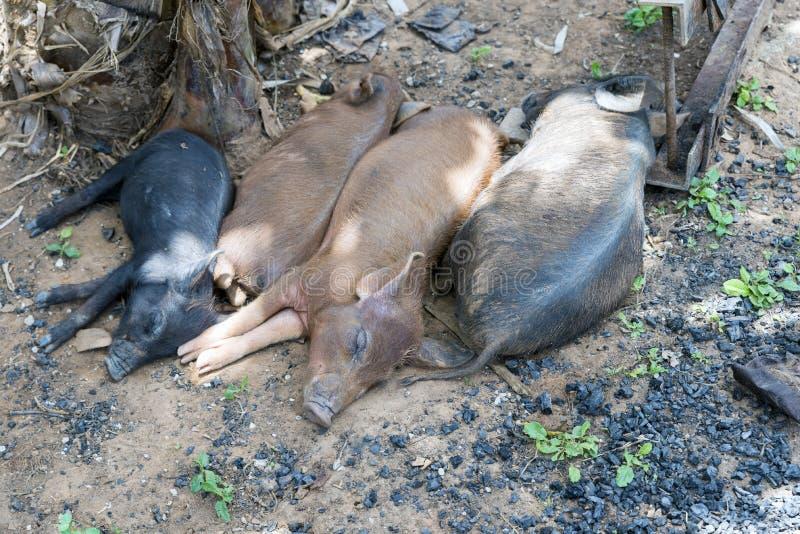 Pigs royalty free stock photos