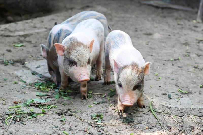 Three little Vietnamese piglets on a farm stock photo