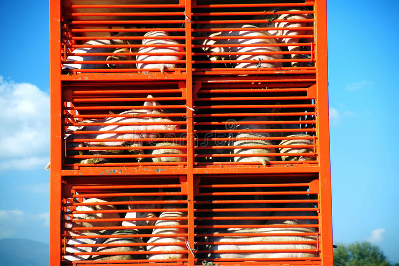 Pigs and hos raised for food being transported to a butcher house in an orange truck. On a sunny day royalty free stock images