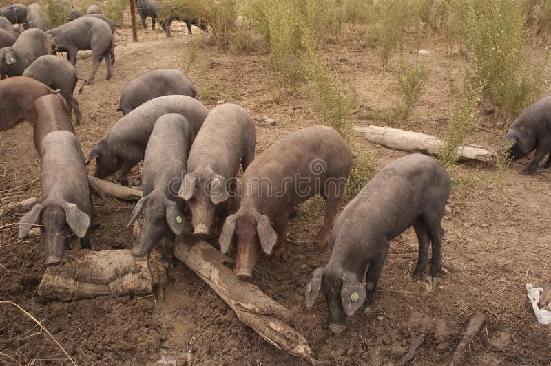Pigs of the Iberian breed, Spain, Pata negra, Jabugo stock photos