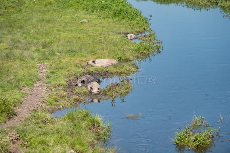 Pigs are lying in the muddy mud of a small river among the green grass on a summer day. Summer. Pigs are lying in the muddy mud of a small river among the green stock photo