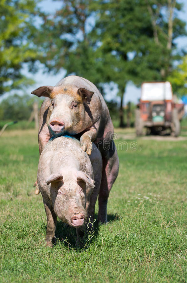 Pigs mating stock photo. Image of mating, copulate, filth ...