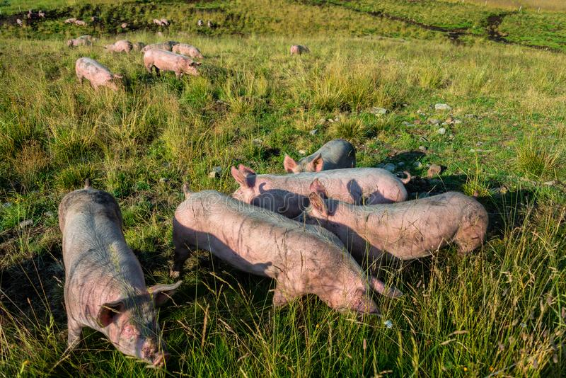 Pigs out on Pasture , Ecological royalty free stock photo