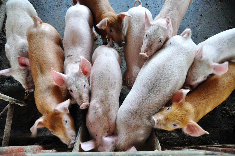 Download Pigs In A Pigpen Stock Images - Image: 18850124