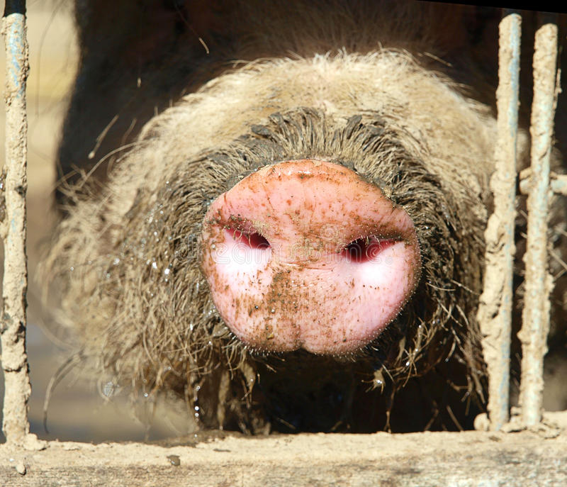 Pigs Snout In Sun Royalty Free Stock Image