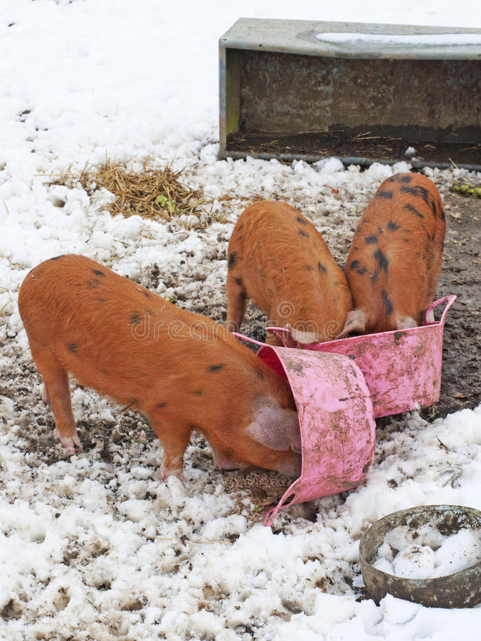 Pigs with their snouts in the Trough royalty free stock photos