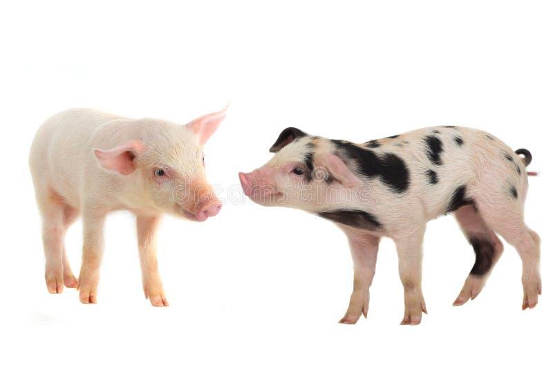 pigs två arkivfoto