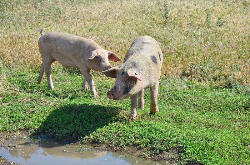 Pigs stock photos