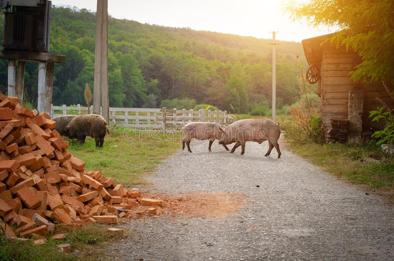 Pigs walk on the road in the countryside. royalty free stock images