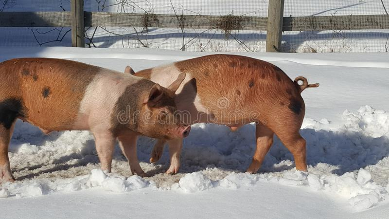 Pigs in winter pen royalty free stock image