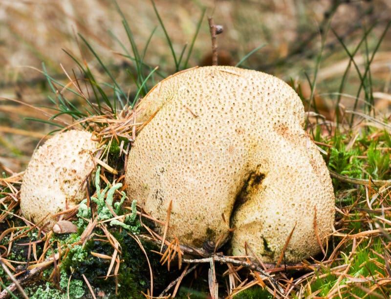 recipe: are puffballs poisonous [24]
