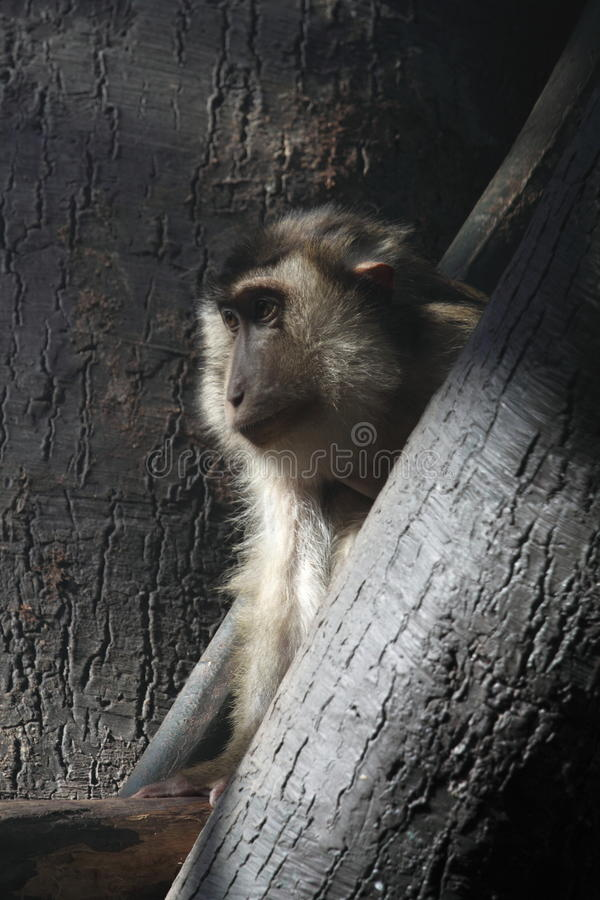 Download Pigtail Macaque Stock Images - Image: 13242074