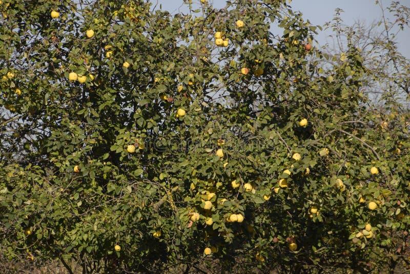 Pigw owoc na gałąź drzewo, opóźniona jesień w ogródzie, opóźnione pigw owoc obraz royalty free