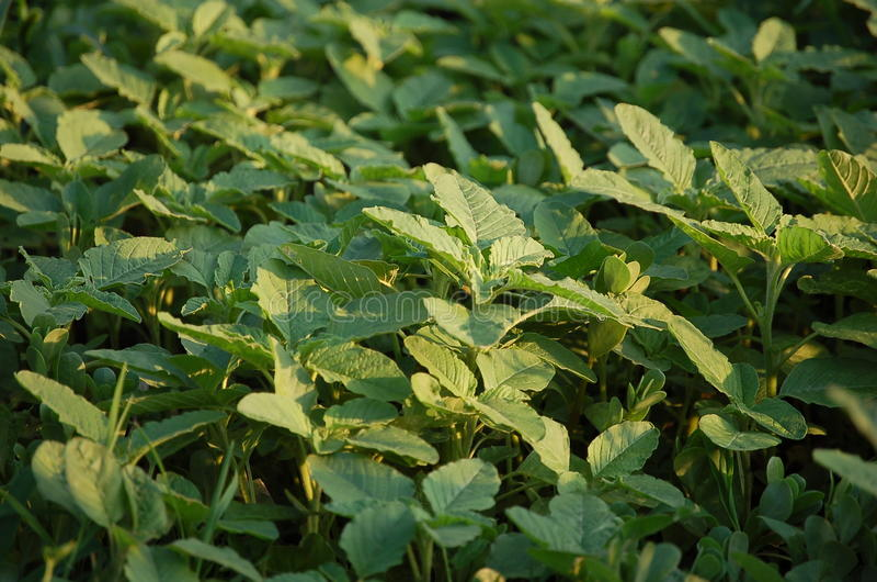 Pigweed-amaranto foto de archivo