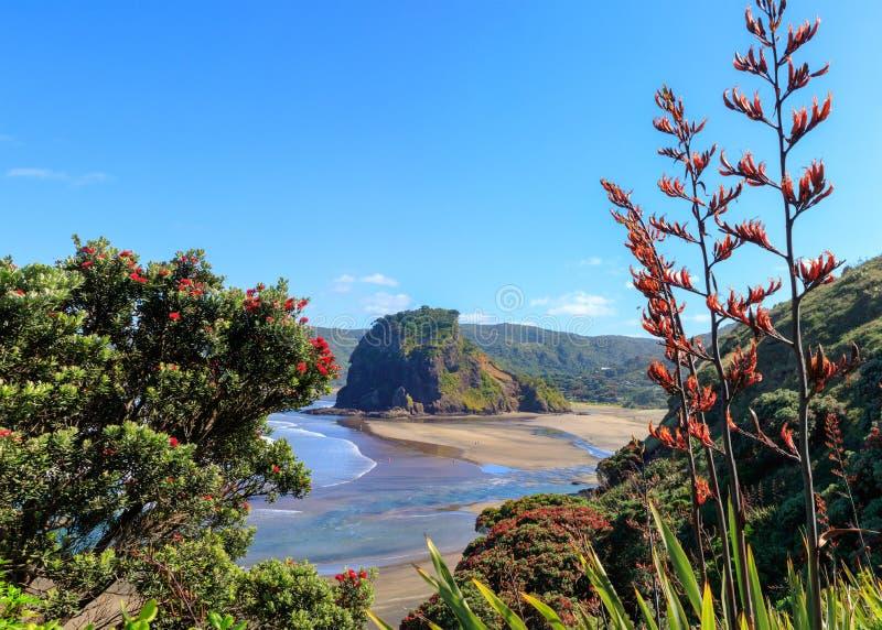 Piha Beach, Lion Rock and pohutukawa tree flowering in December, New Zealand.  royalty free stock image