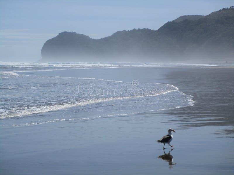 Piha Beach, New Zealand royalty free stock images