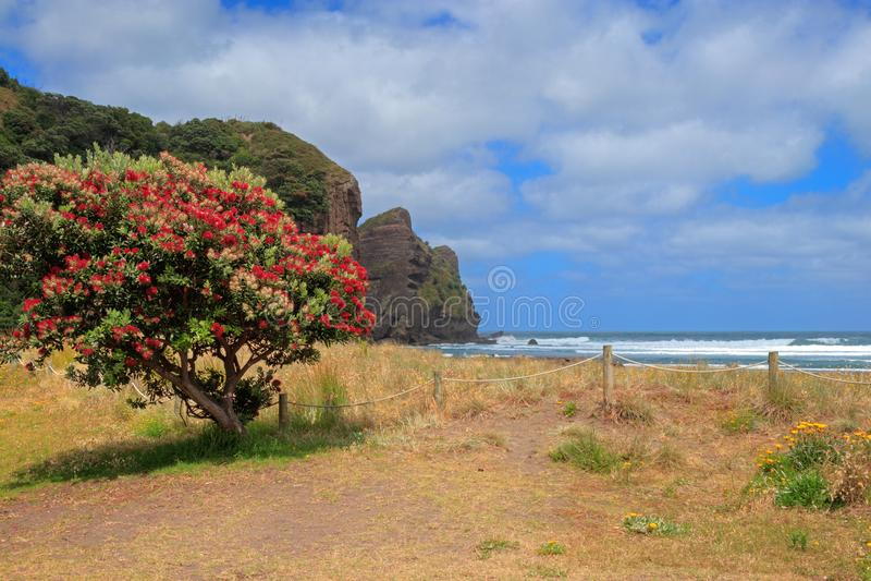Piha Beach with pohutukawa tree flowering, Auckland Region, New Zealand stock photography