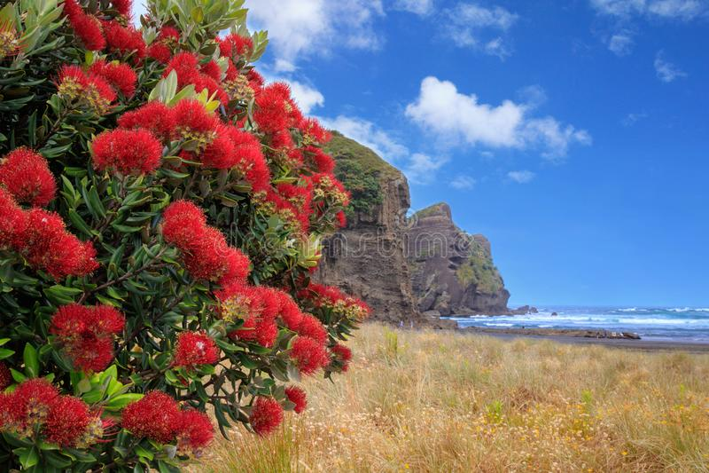 Piha Beach with pohutukawa tree flowering, New Zealand stock image
