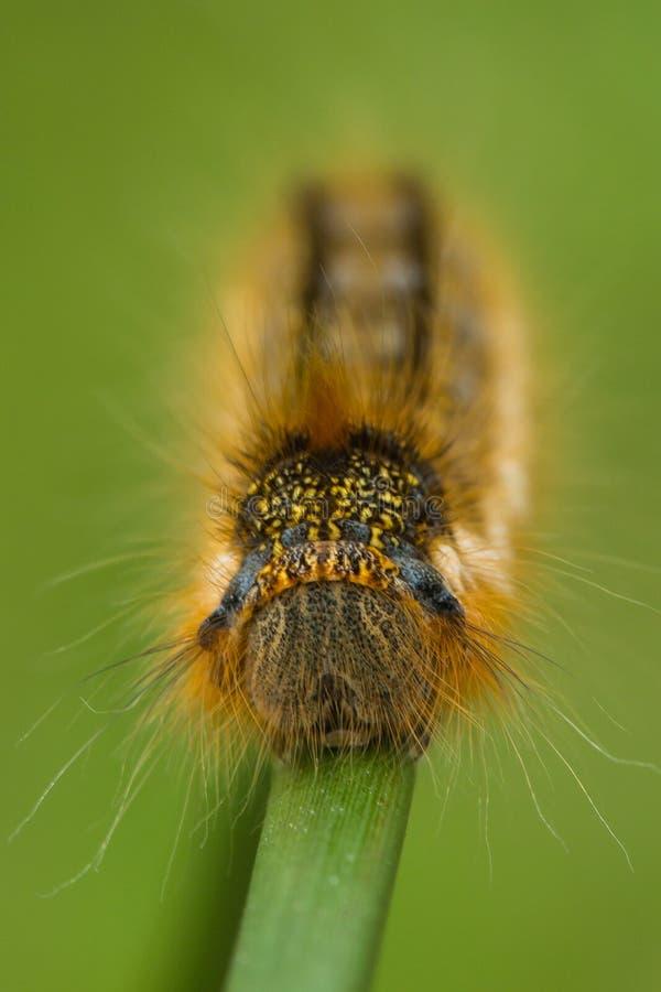 Pijącego ćma gąsienica (Euthrix potatoria)  zdjęcia stock