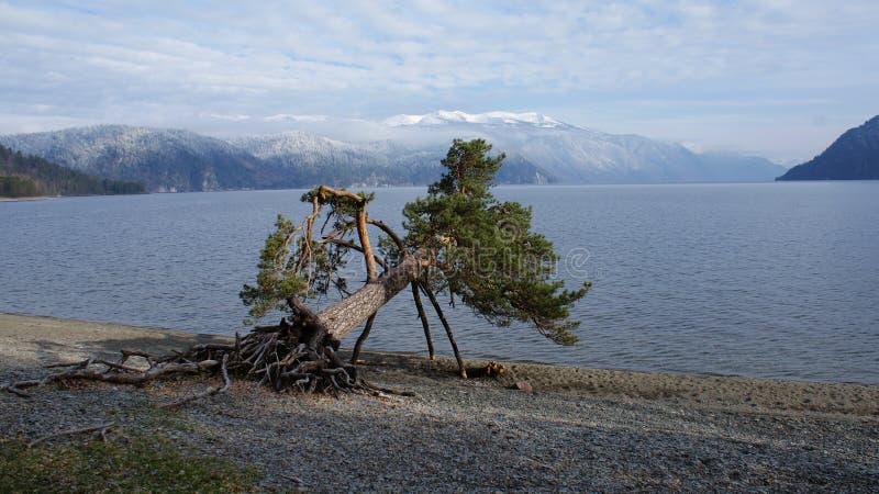 Pijącego drzewo zdjęcie royalty free