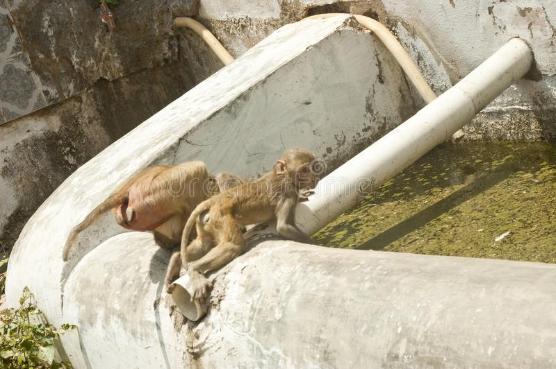 Pijący rezerwuar używać małpami obraz royalty free