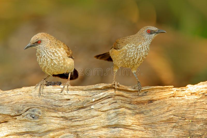 Pijl-Arrow-marked Babbelkous, Turdoides-jardineii, detail van exotische grijze Afrikaanse vogel met rood oog in de aardhabitat, B royalty-vrije stock foto's