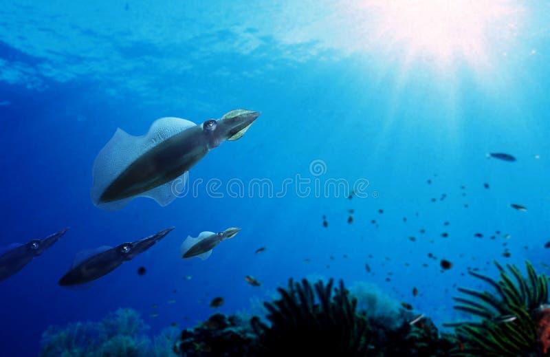 Pijlinktvissen stock foto