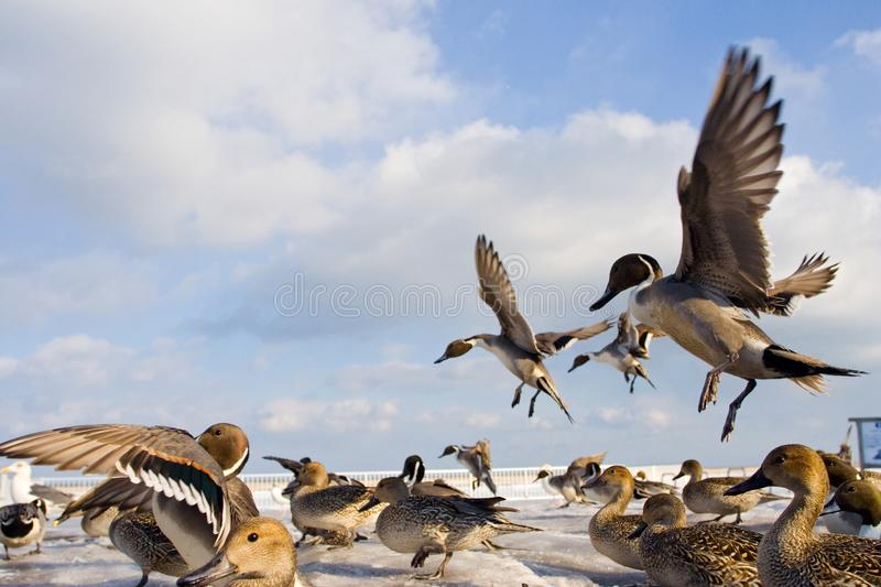Pijlstaart, Northern Pintail, Anas acuta royalty free stock photo