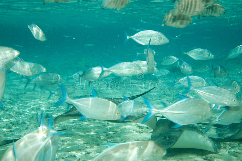 Pijlstaartroggen & Tropische vissen royalty-vrije stock fotografie