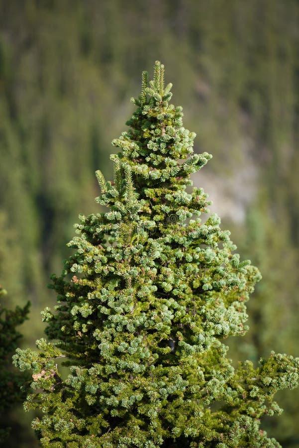 Pijnbomen in de Canadese Rotsachtige Bergen stock afbeelding