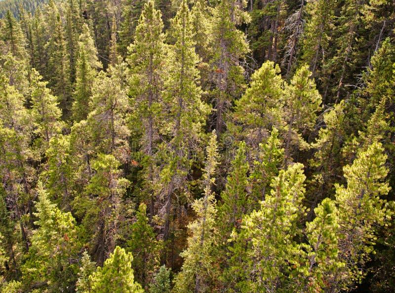 Pijnbomen in de Canadese Rotsachtige Bergen royalty-vrije stock fotografie
