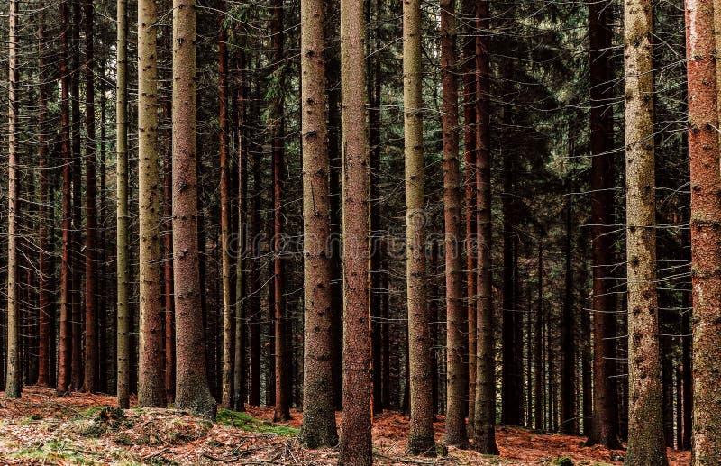 Pijnbomen en boomstammen in herfstbos stock foto