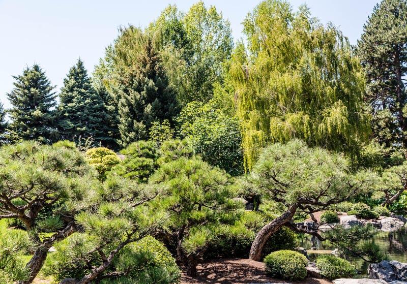 Pijnbomen en het Huilen Wilgen in Park stock fotografie