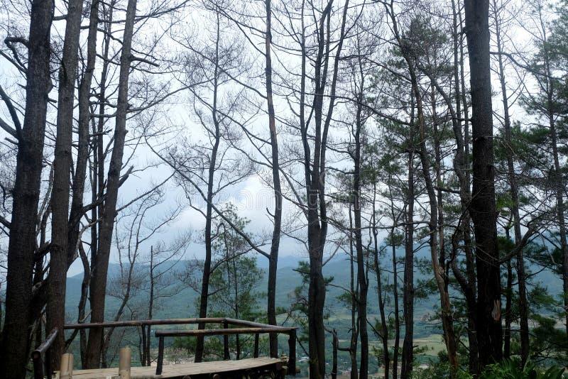 Pijnbomen in het bos stock afbeeldingen