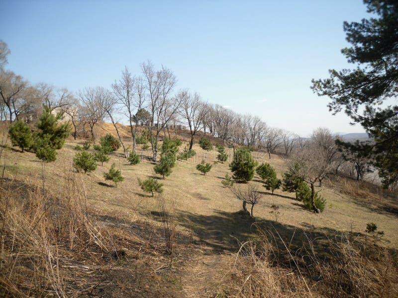 Pijnbomen op de heuvel stock afbeeldingen