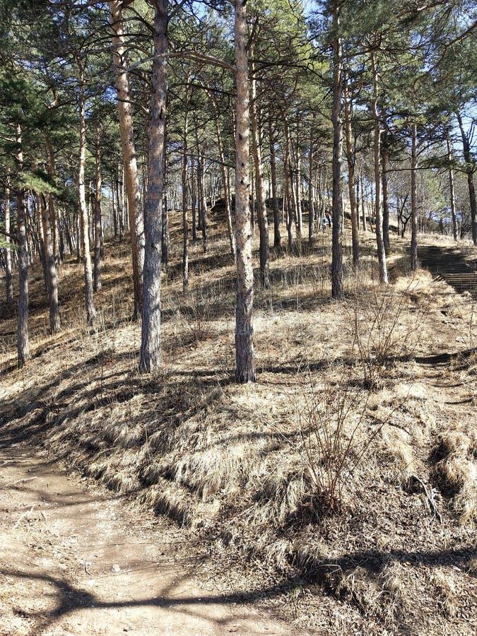 Pijnbomen op de heuvel stock afbeelding
