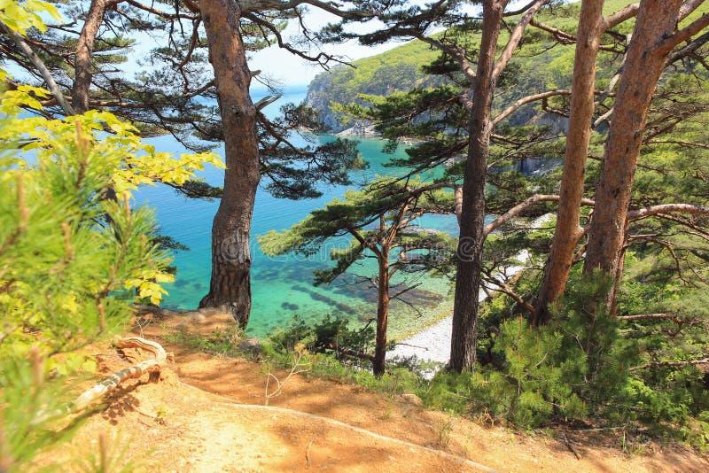 Pijnbomen op de overzeese kust, Primorsky-krai, Rusland stock afbeelding