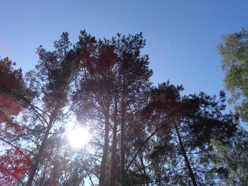 Pijnbomen op het eiland royalty-vrije stock foto's