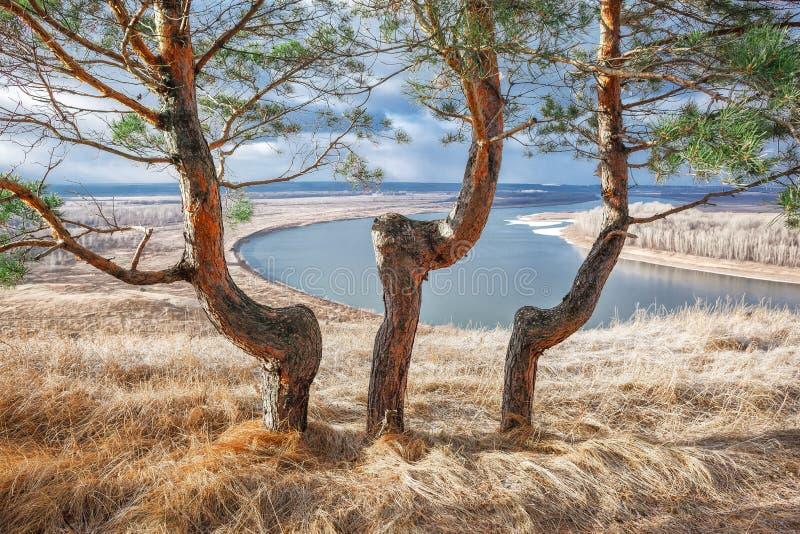 Pijnbomenbomen royalty-vrije stock foto