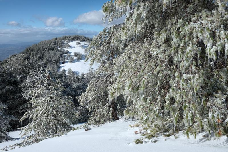 Pijnbomenbomen met Ijskegels in Etna Park, Sicilië stock afbeelding